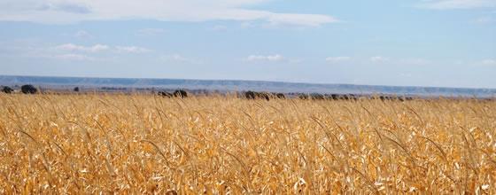 Pheasant Corn Land for Sale